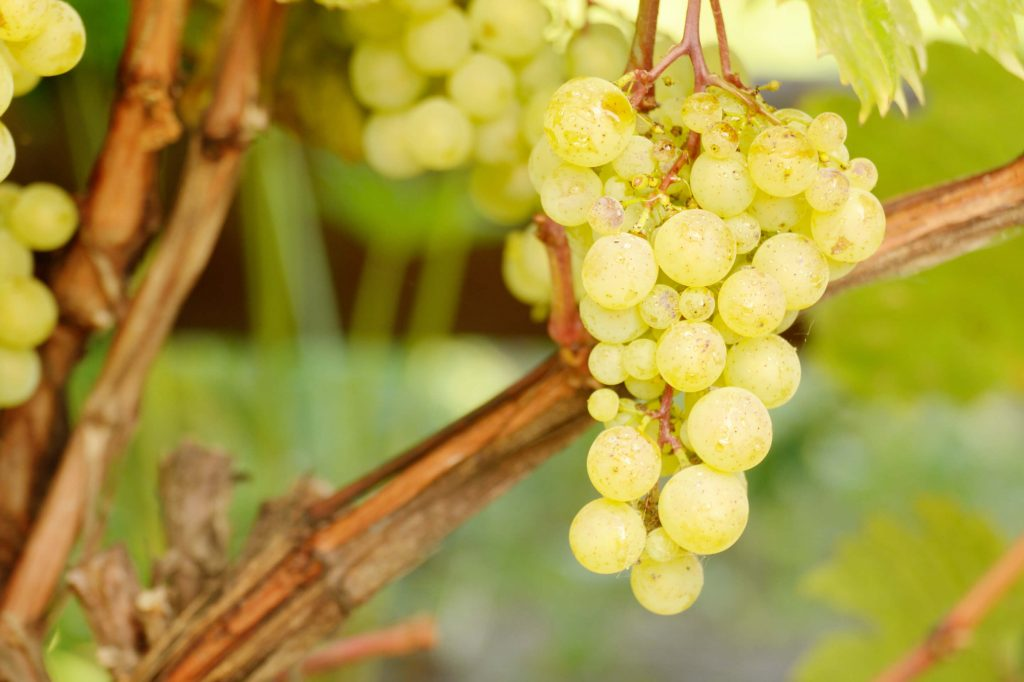 Green grapes on the wine