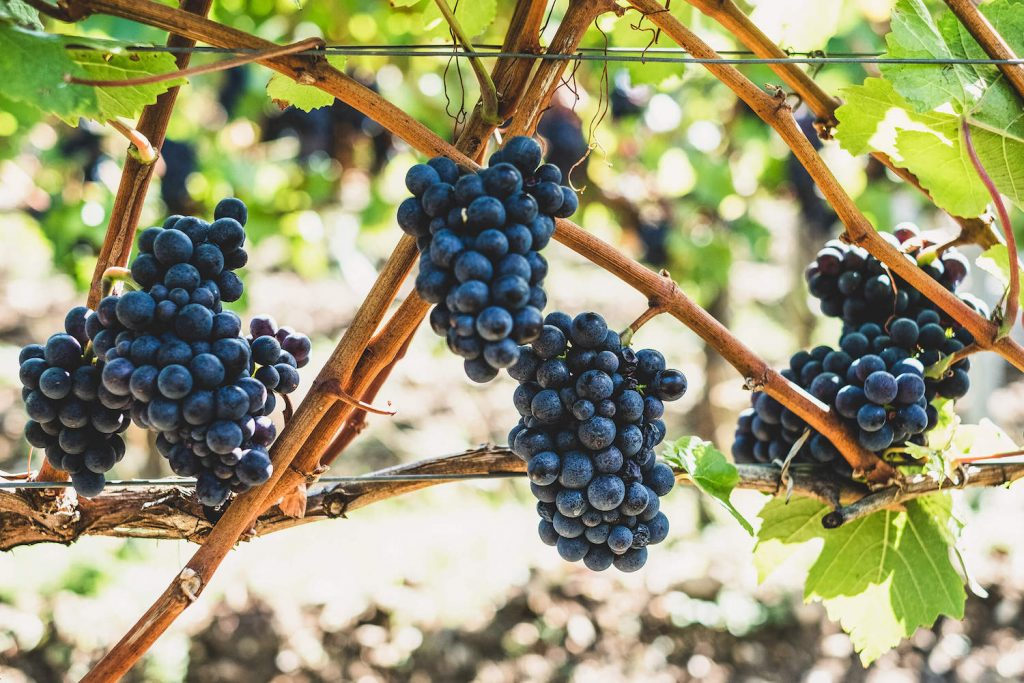 Red wine grapes growing on a vine, similar to what Dan and Lindsey Fiebelkorn grow near Gregory, South Dakota